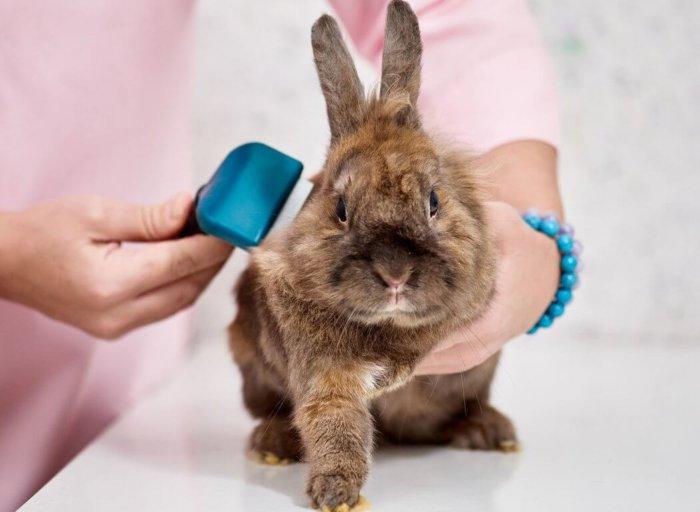 Осмотр кролика перед вакцинацией
