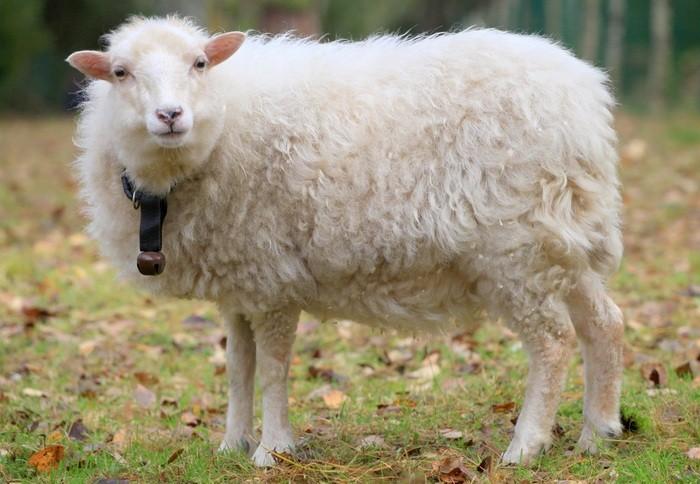 Взрослая карликовая овца