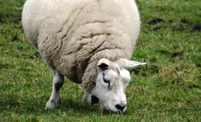 Кормление беременной овцы должно быть сбалансированной