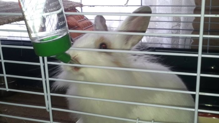 Кролик пьет воду с препаратом