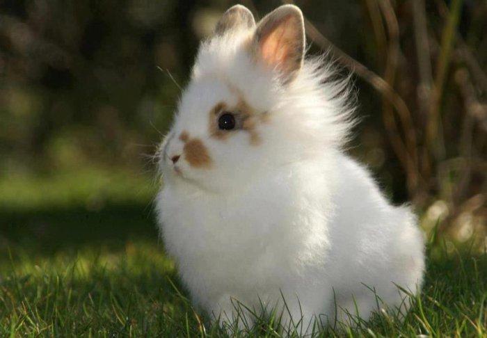 Мини-кролик львиная голова