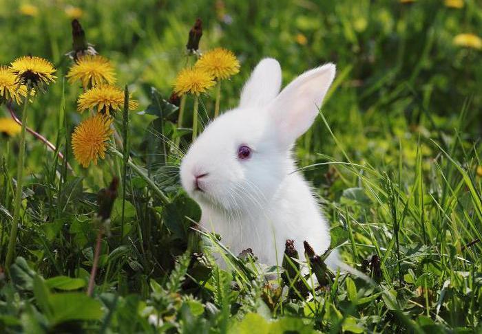 Одуванчики для кролика