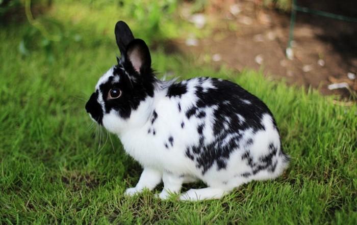 Кролик карликовая Бабочка