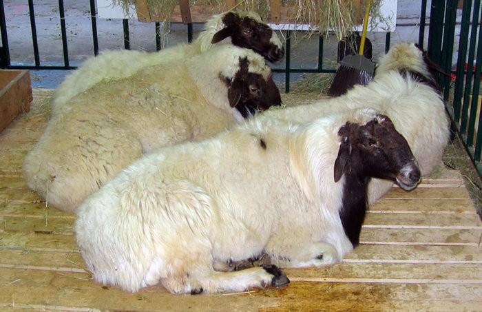 Калмыцкая овца