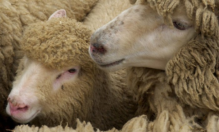 Заражение овец происходит при контакте с больной особью