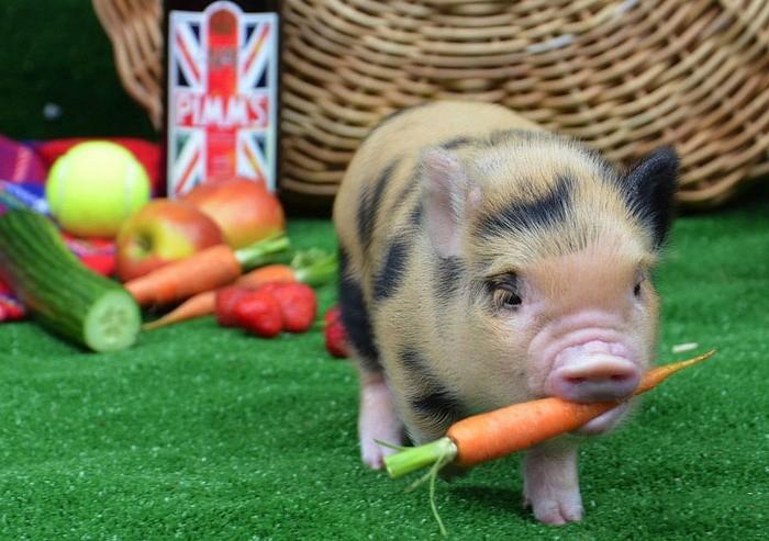 Морковь для свиней