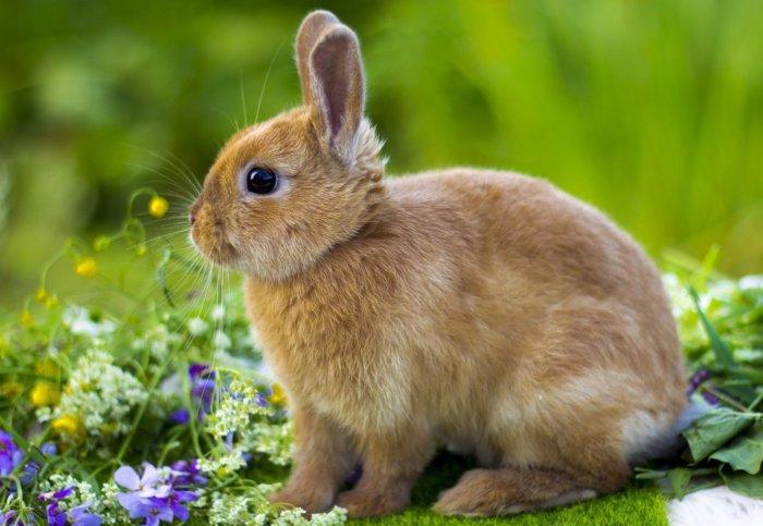 Кролик породы цветной карлик