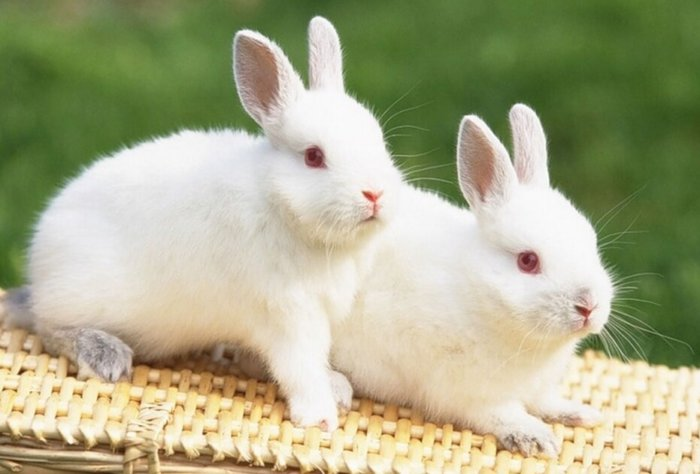 Кролики перед спариванием