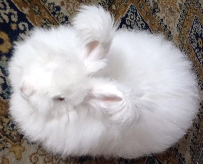 Ангорская пуховая порода кролика