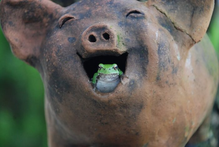 Свиньи любят есть лягушек