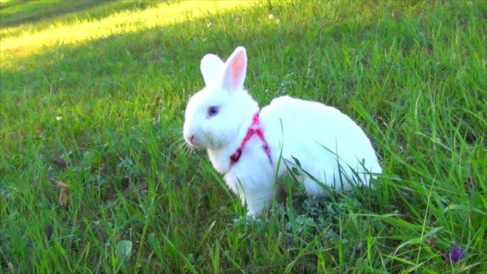 Декоративный кролик на выгуле