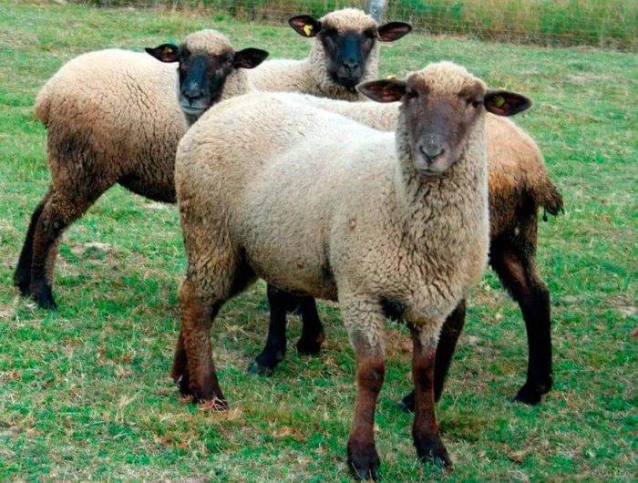 Горьковские овцы