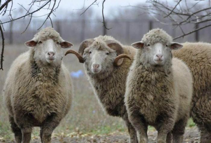 Овцы асканийской породы