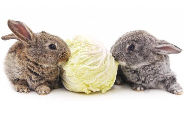 Белокочанная капуста для кроликов