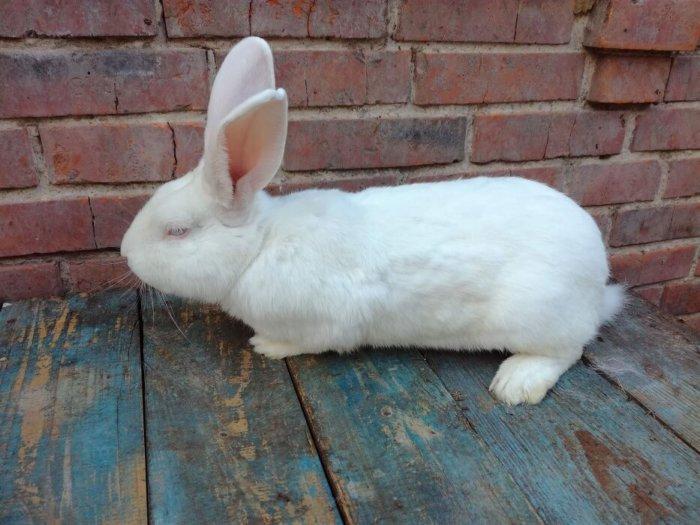 Кролики белый паннон