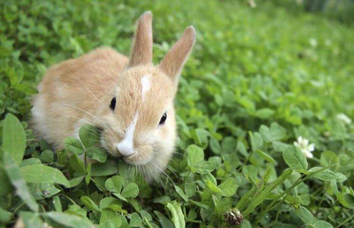 Кролик и клевер