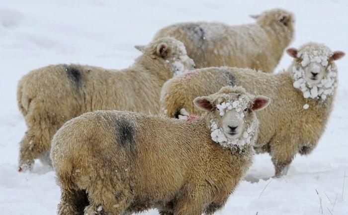 Содержание овец в зимний период