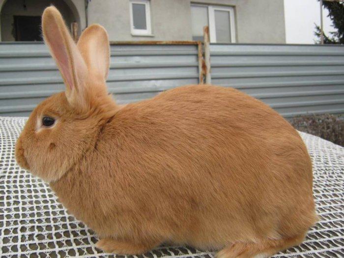Кролик большой породы
