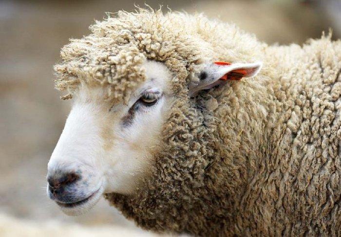Оспа у овцы в инкубационном периоде
