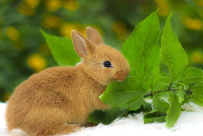 Кормление кролика породы цветной карлик
