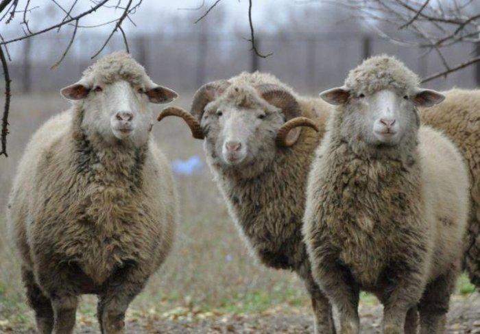 Тонкорунная овца