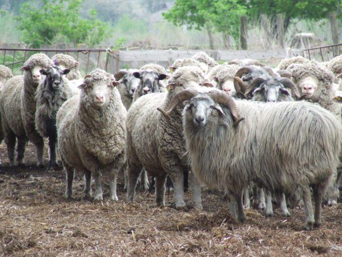 Северокавказские овцы