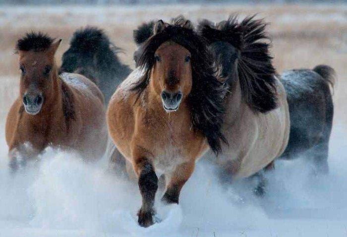 Якутские лошади
