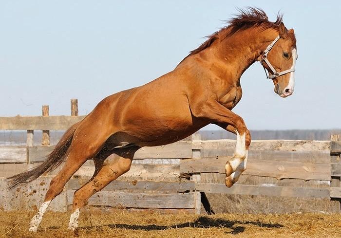 Тракененская порода лошадей