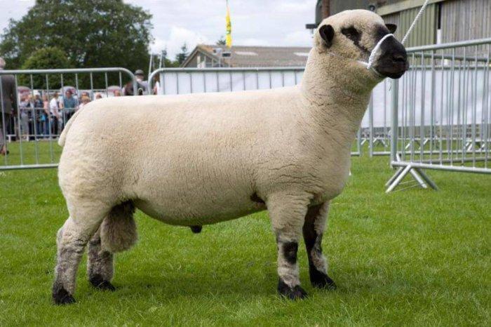 Овцы породы тексель имеют крепкое телосложение