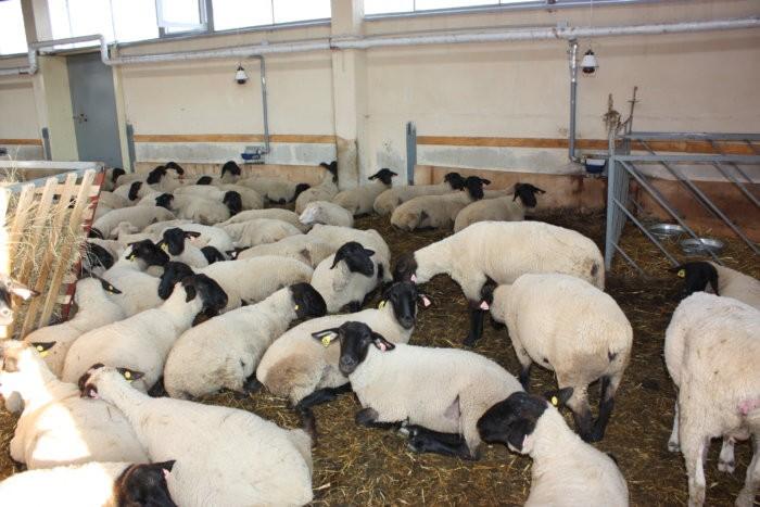 Разводить овец суффолк выгодно
