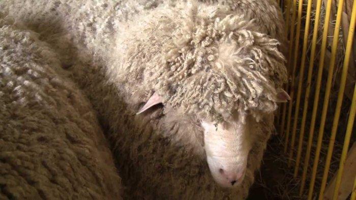 С овец кавказской породы получают шерсть высокого качества