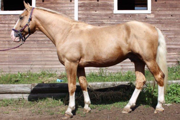Чистокровный торийский конь