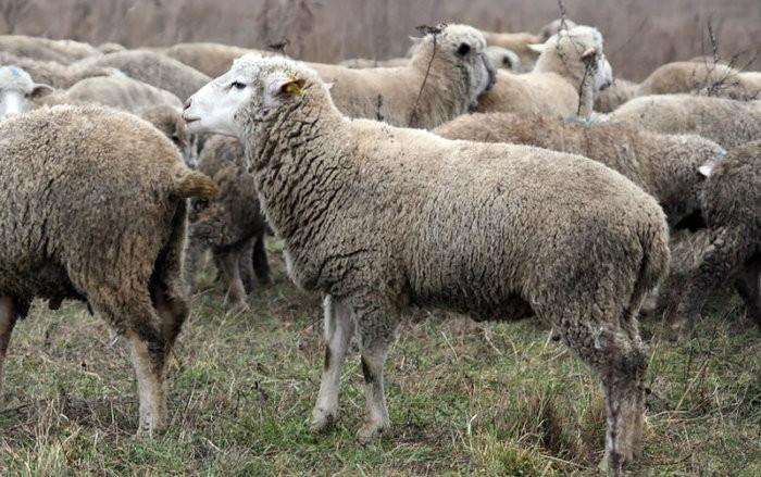 Летом овцы почти всё время проводят на пастбище