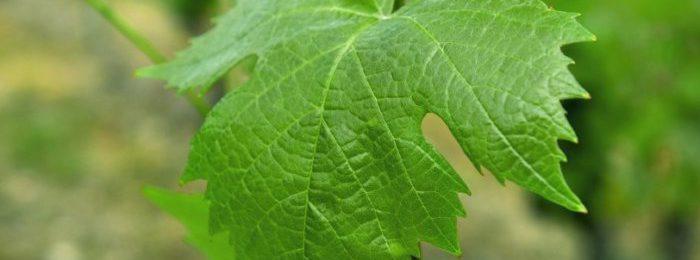 Виноградный лист для кролика