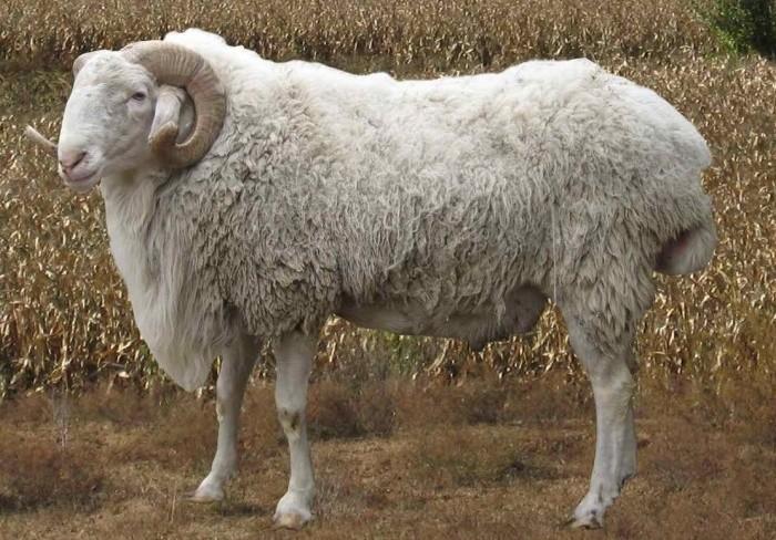 Описание каракульских овец
