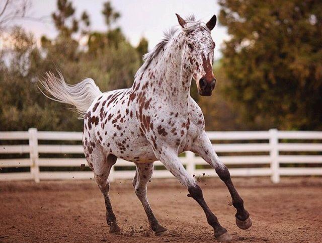 Внешний вид чубарой лошади