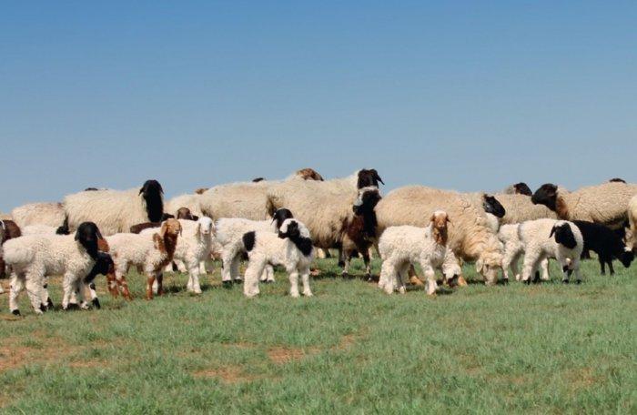 Калмыцкаяпорода овец на выпасе
