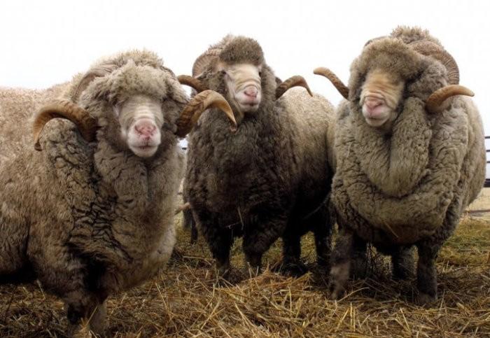 Овцы, выведенные в заповеднике Аскания-Нова