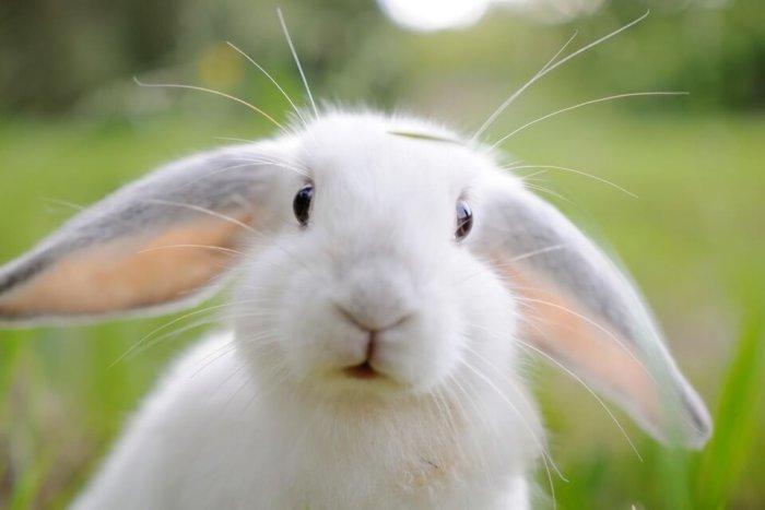 Существует высокий спрос на шкурки этой породы кролей