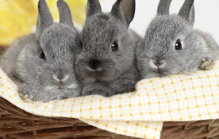 Начинать кормить кроликов клевером разрешается только с четвертого месяца жизни