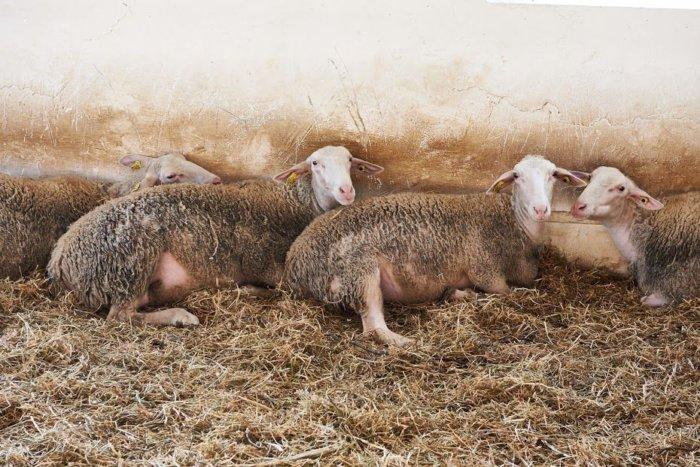 Овцы лакаюне