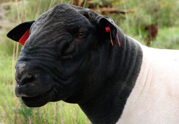 Внешность у овец дорпер необычная