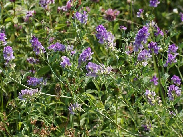 Свежую траву обязательно подвяливают на воздухе в тени