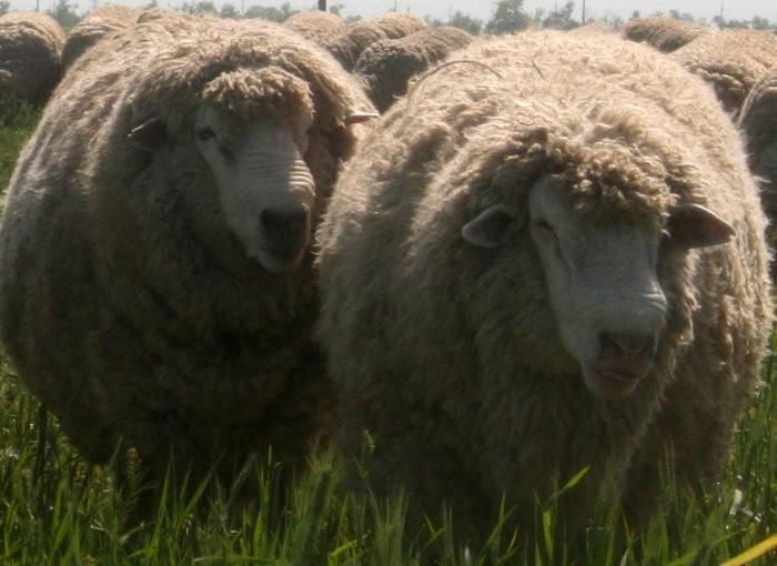 Шерстная продуктивность овец цигайской породы высокая
