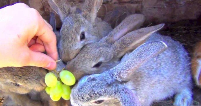 Кролики едят виноград