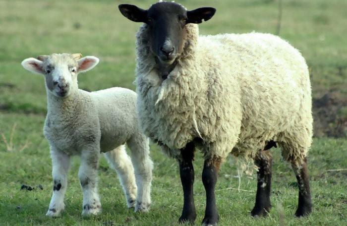 Каракульская овца с ягненком