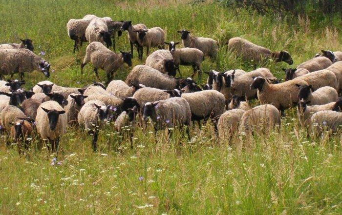 Романовские овцы на выпасе