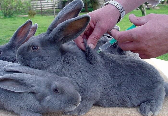 Ревакцинация кролика