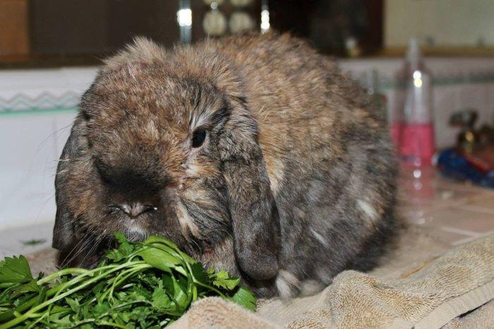 Противопоказанием является гастрит кролика