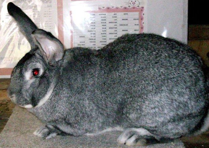 Порода кроликов серый великан